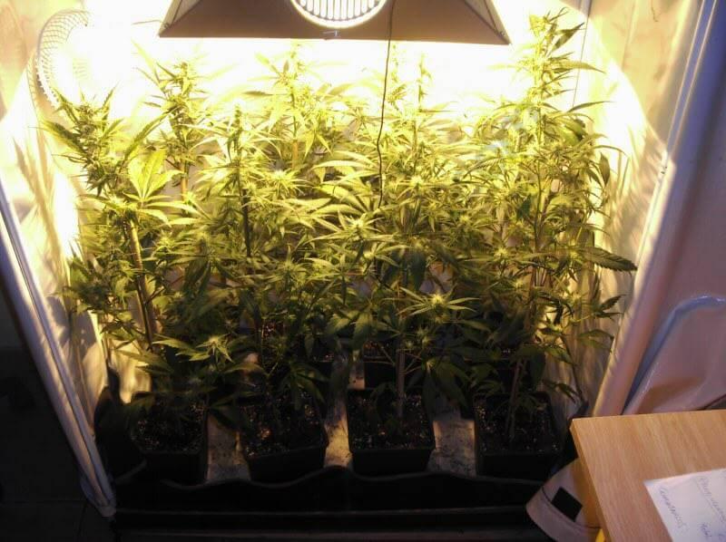 Super Silver Haze y Cannalope Haze en cuarta semana de floración