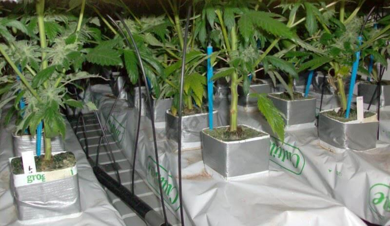 Plantas de marihuana en slabs de lana de roca