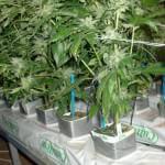 Cultivo hidropónico de plantas de marihuana