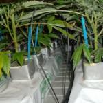 Como montar un sistema de cultivo de marihuana hidropónico
