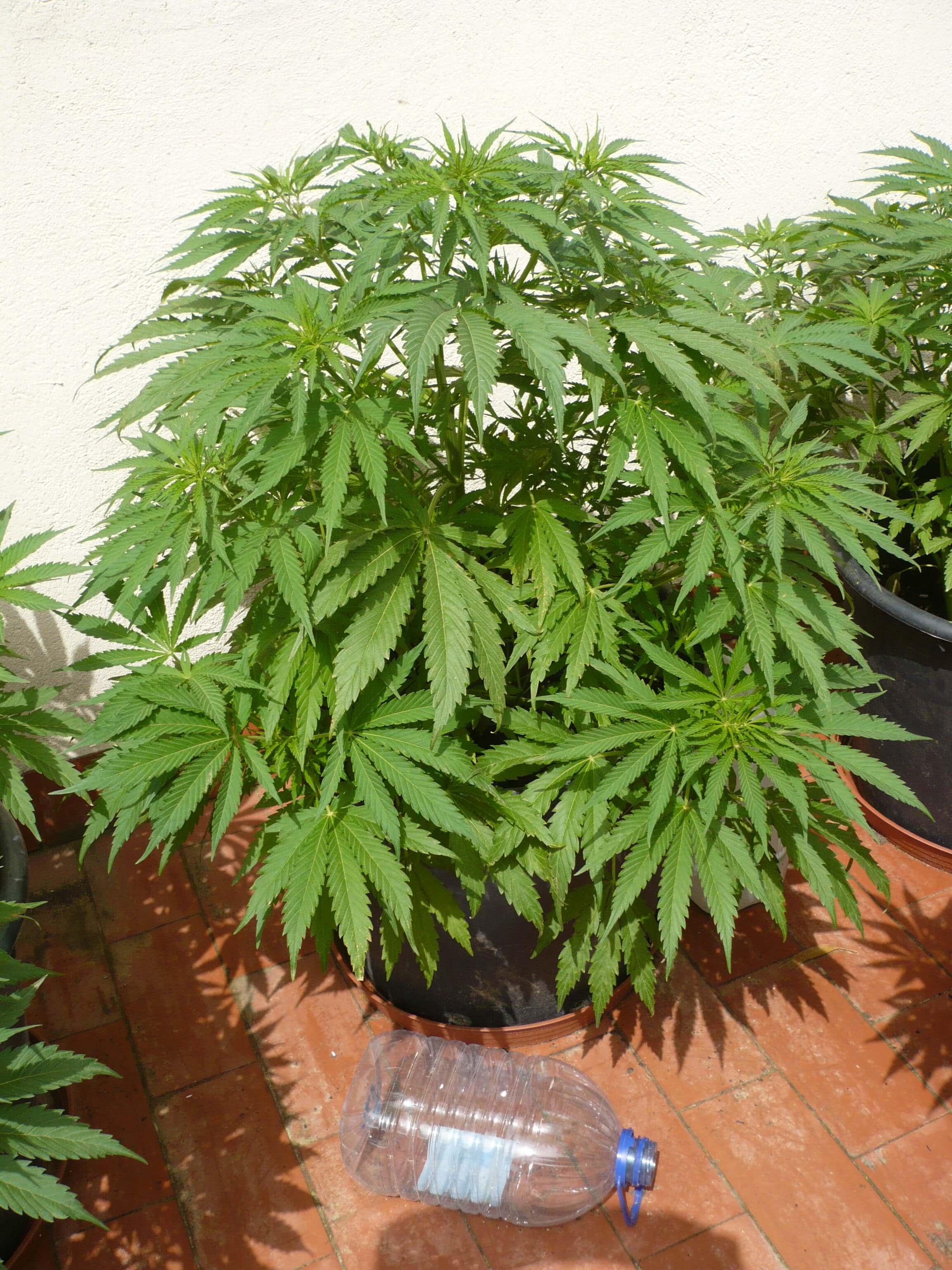 Cultivo De Marihuana En Terrazas Blog Del Grow Shop Alchimia
