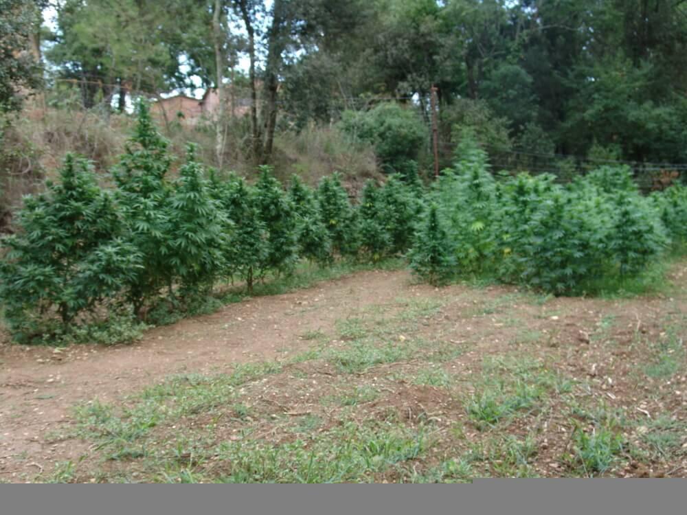 Cultivo de marihuana en suelo