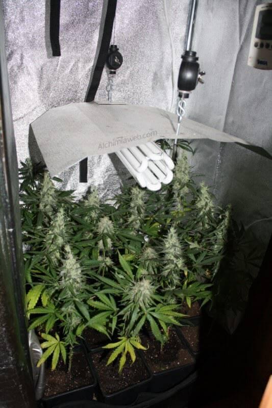 En muy poco tiempo la Marihuana esta a punto
