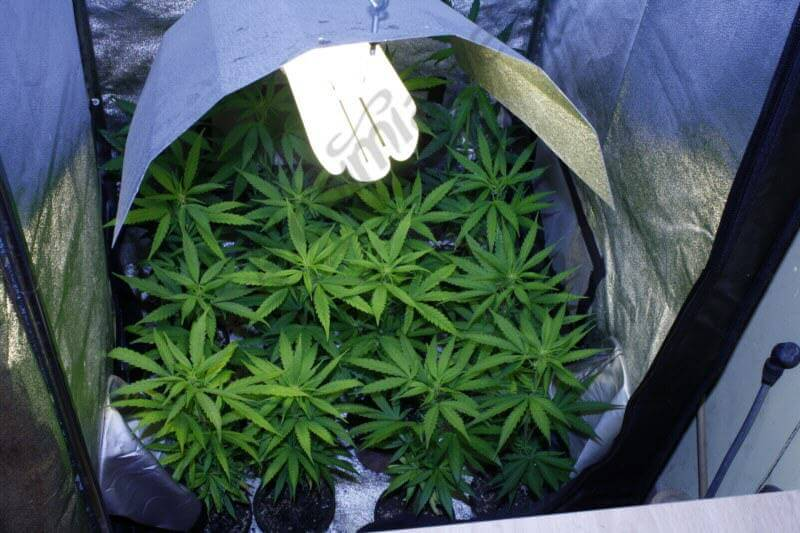 Plantas en 0.25 litros bajo el foco de 200 w