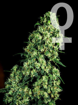 Skunk de Sensi Seeds Bank