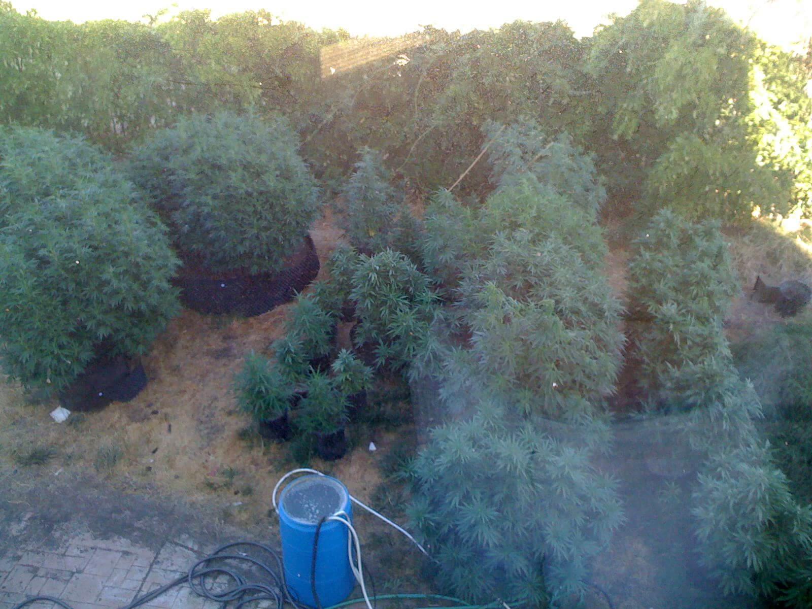 Cultivo exterior de Blueberry.............................................................................................fuente foto: california.budtrader.com