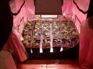 Introducci n al cultivo de marihuana con led blog del - Chambre de culture cannabis interieur ...