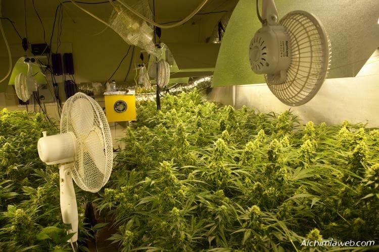 Las plantas de marihuana necesitan una buena ventilación
