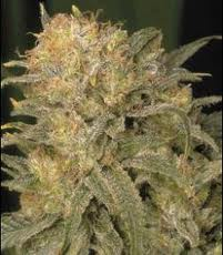 Bubble Gum de Serious Seeds