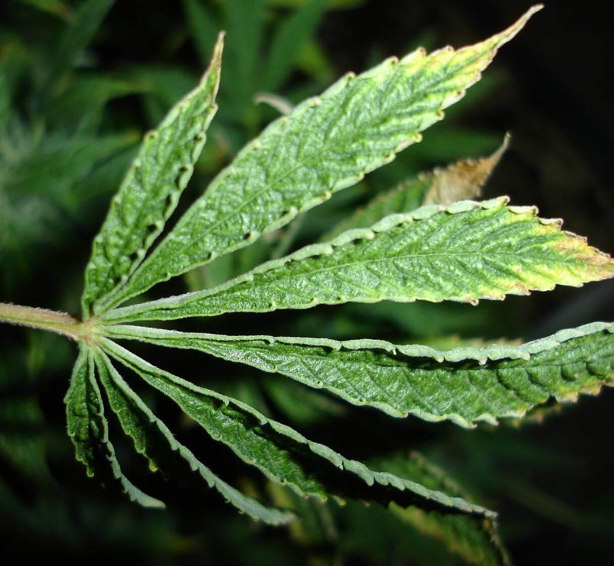 Hoja de marihuana atacada por microácaros