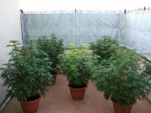 Cultivo De Marihuana Según La Latitud Alchimiaweb