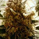 Como cultivar Marihuana en Mapito