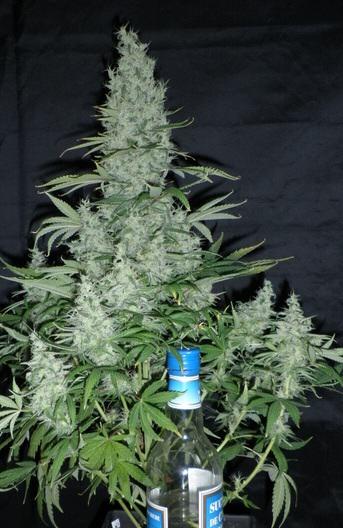 las variedades de marihuana más productivas - blog del grow shop