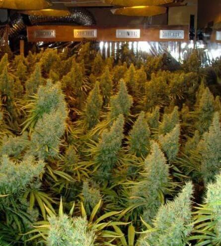 Plantas de marihuana de Agent Orange