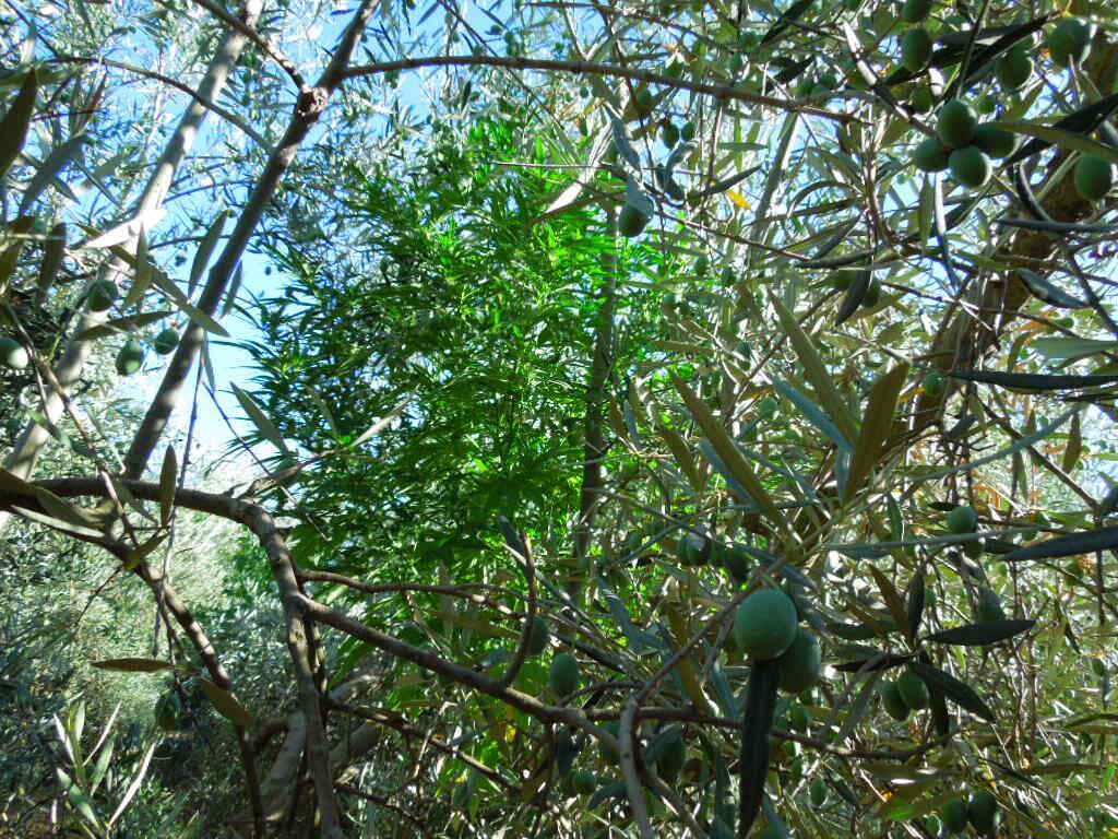 Marihuana camuflada en un olivo.