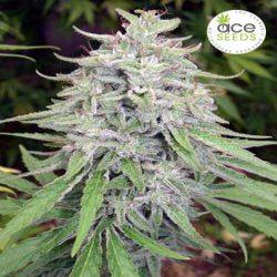 Marihuana Bangi Haze.
