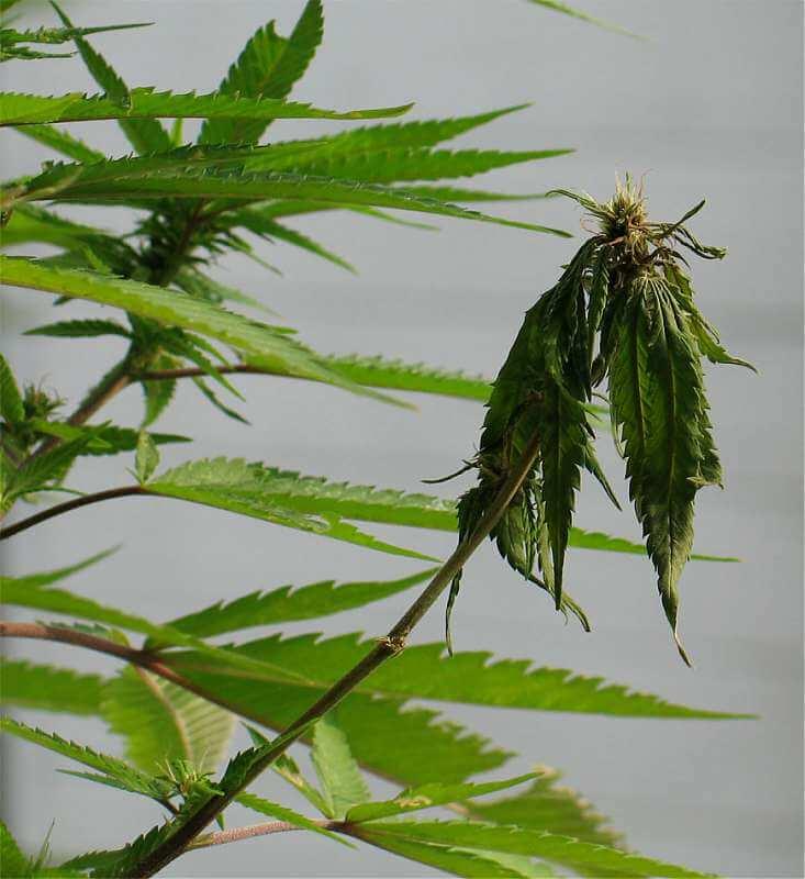 Infección por pythium en el cannabis.