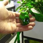 Cultivo de pimientos en acuaponía.