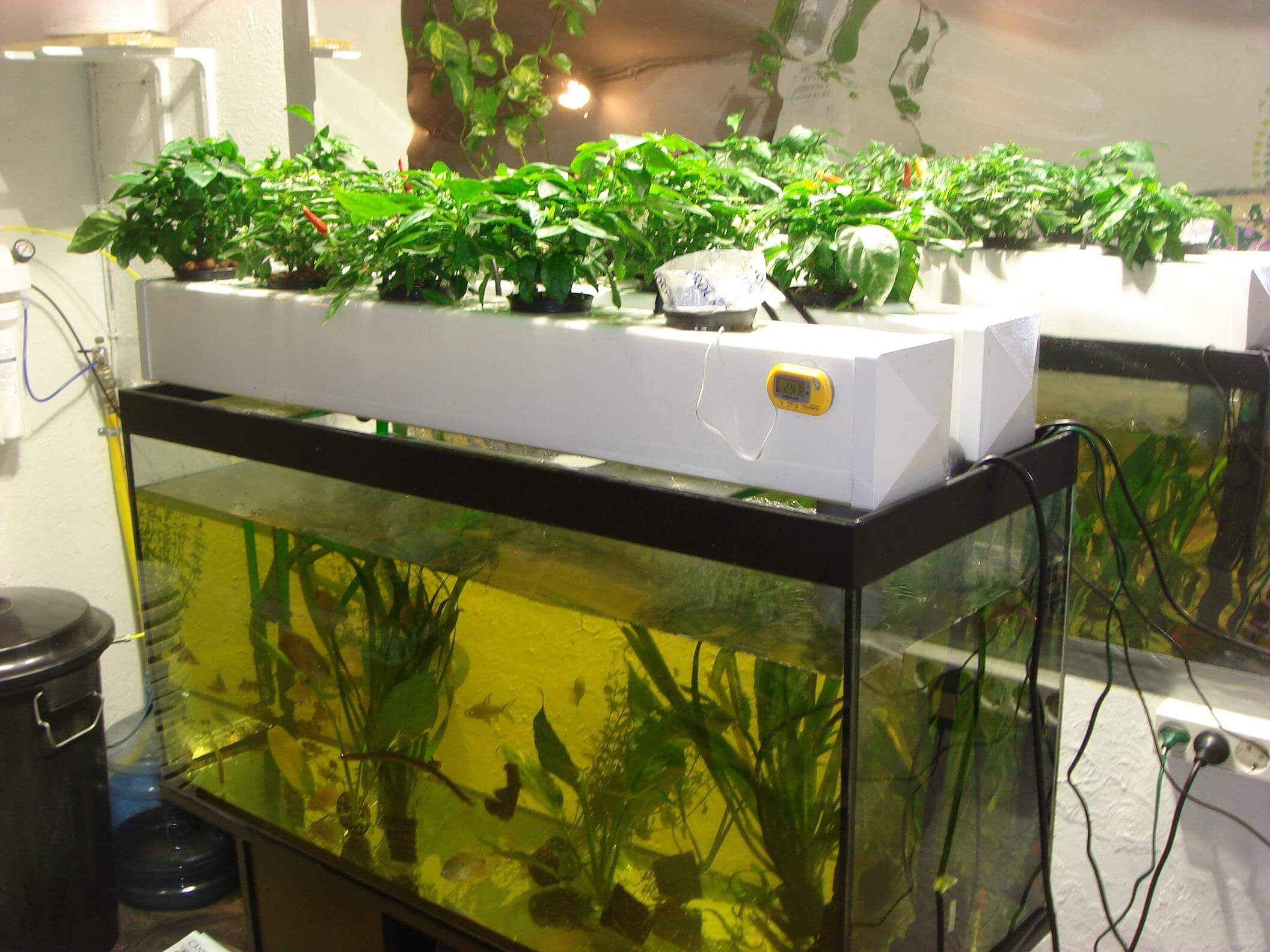 Cultivo de marihuana en acuapon a blog del grow shop for Como construir estanques para peces