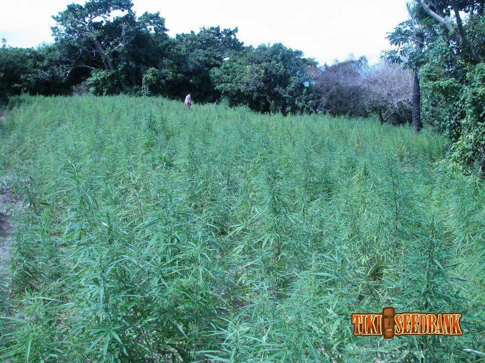 Plantas de marihuana con estructura perfectamente adaptada al clima cálido del Senegal