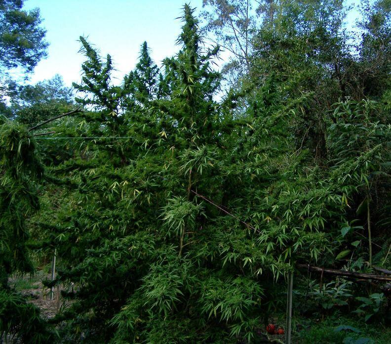 Planta de marihuana grande