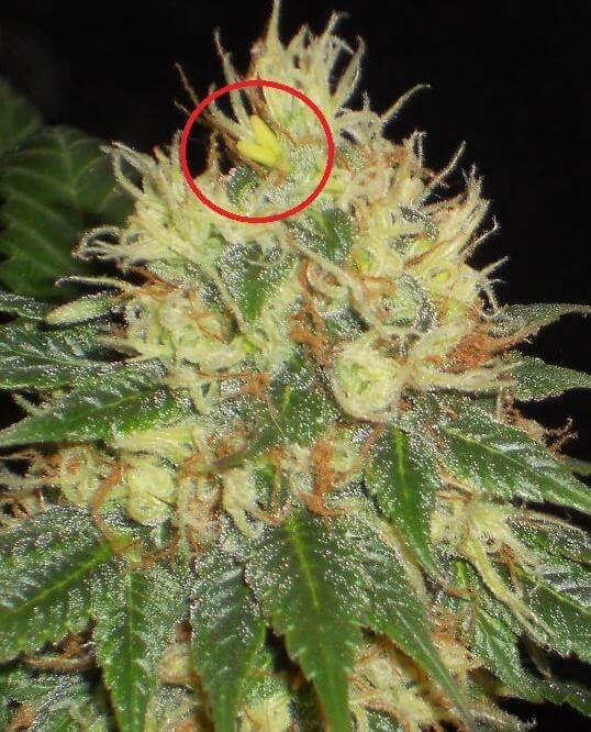 Marihuana y hermafroditismo