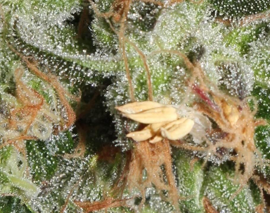 Enfocado en un cogollo de marihuana hermafrodita