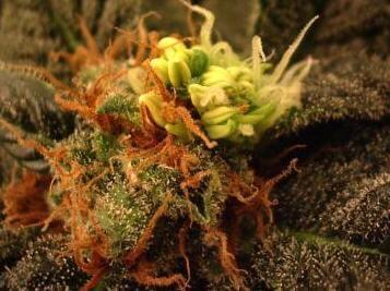 Cannabis hermaphroditism