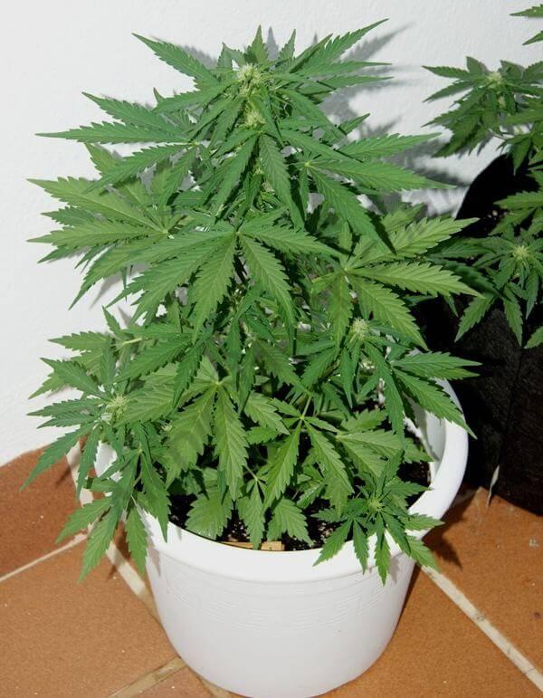 cultivo exterior de marihuana autofloreciente en smartpot - blog