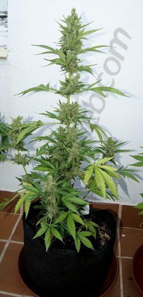 Flash Babylon Smart Pot 18L resinando