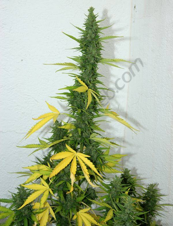 Flash Babylon hojas muy amarillas