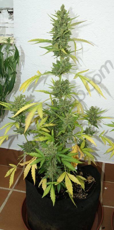 Flash Babylon 18L con las hojas todas amarillas