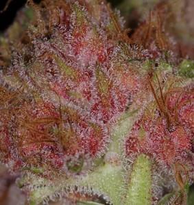 Primer plano de un cogollo de marihuana rosa