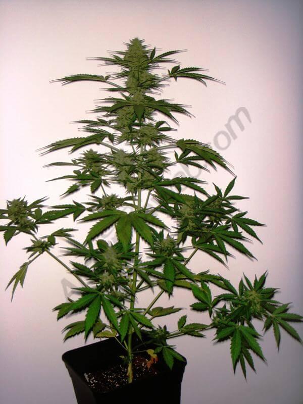cultivo de marihuana autofloreciente - blog del grow shop alchimia