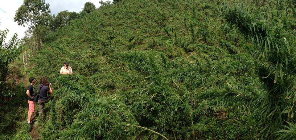 Observación de plantas de marihuana Landraces en Colombia.