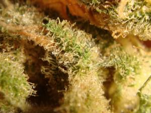 Tricomas Bubblegum Hidroponica