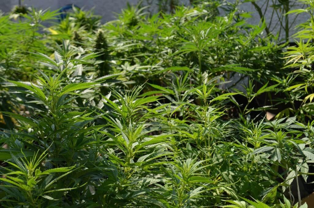 Un cultivo de marihuana con una cantidad máxima de genéticas diferentes