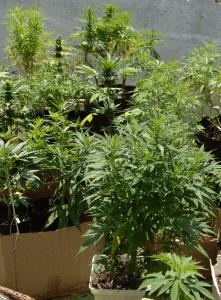 Plantas de cannabis durante todas las etapas de desarrollo.