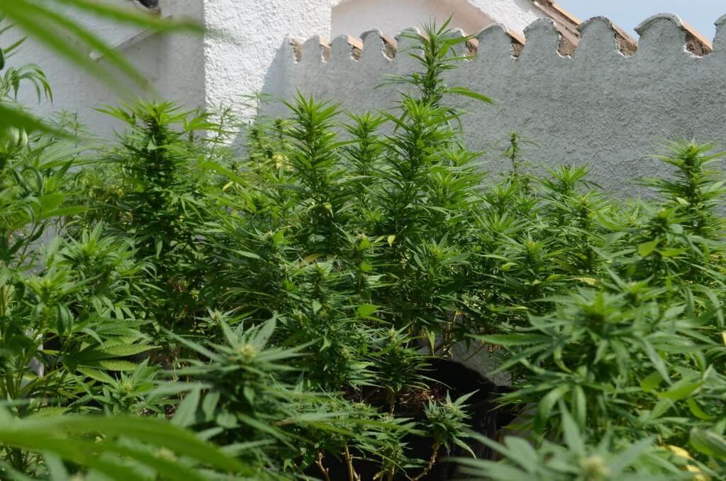 Cosecha de marihuana de junio a noviembre en exterior for Cultivo interior marihuana