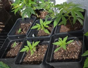 Las primeras siembras de la temporada, variedades de marihuana a floración automática