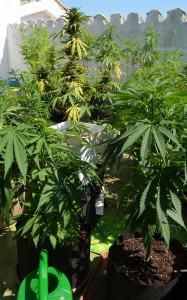 Diferentes estadios de maturación según las diferentes plantas de marihuana