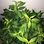 Carencia y exceso de hierro en la marihuana