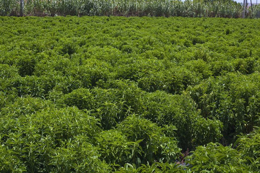 Campo de Stevia