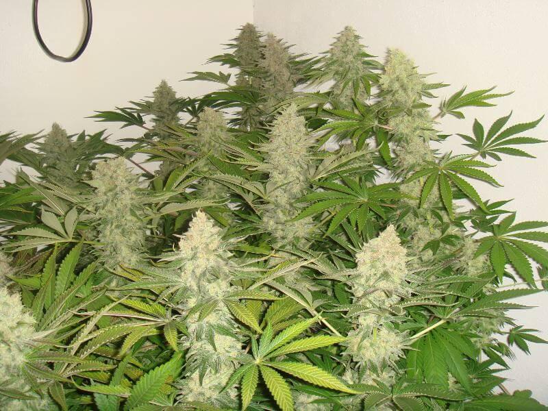 Cultivo de marihuana indica