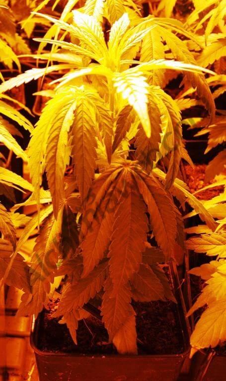 Marihuana con el sustrato demasiado seco
