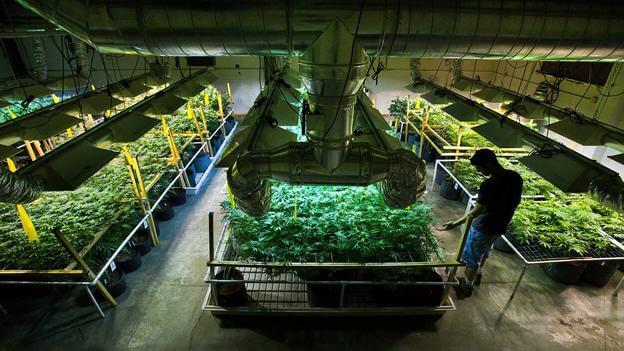 Cultivo comercial de marihuana