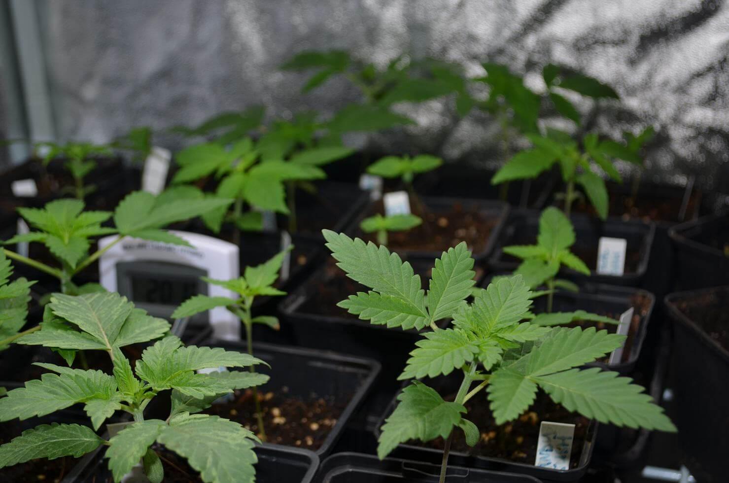 Siembras de marihuana en interior