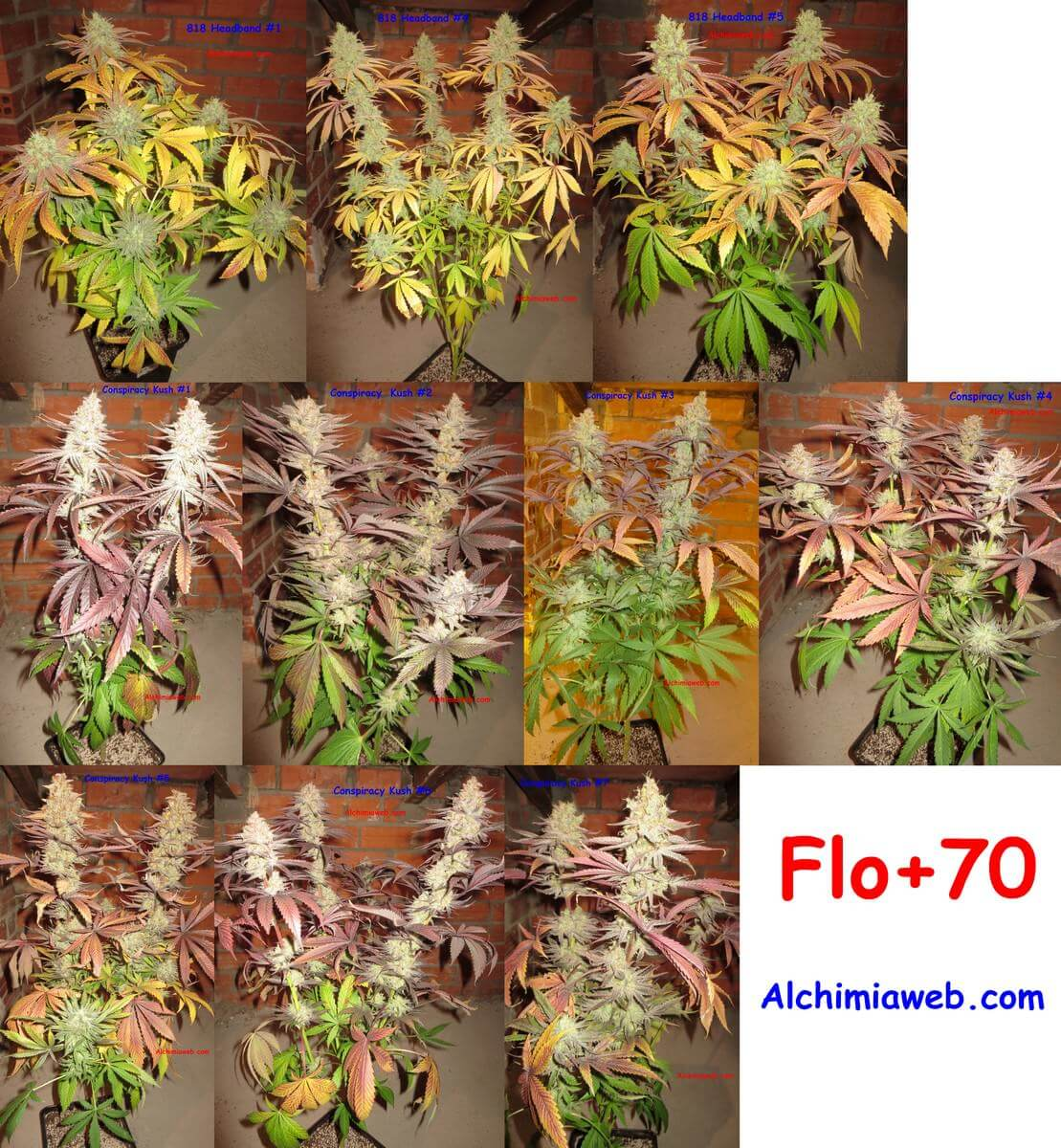 70 días de floración