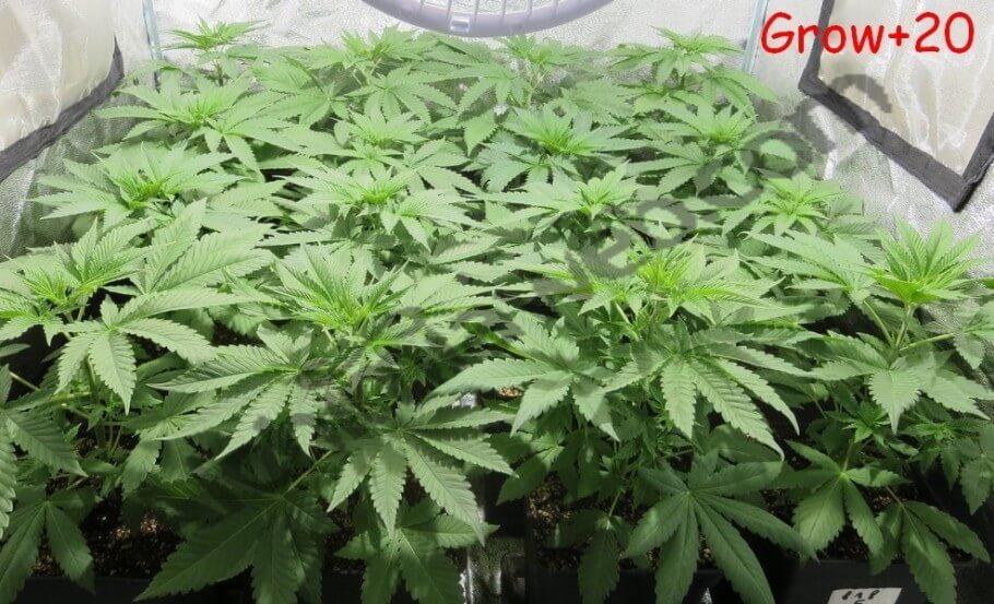 Crecimiento de las plantas de cannabis tras 21 días desde la germinación