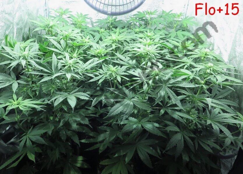 """Plantas de cannabis al final del """"strech"""" con 15 días de floración"""